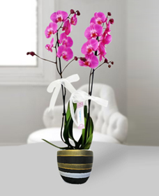 Ýkili pembe orkide